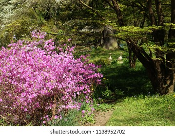 Bavarian countryside in spring, garden with flowering bush full of pink blossoms, the shadow of a tree over a green meadow and a couple of greylag geese walking, soft focus