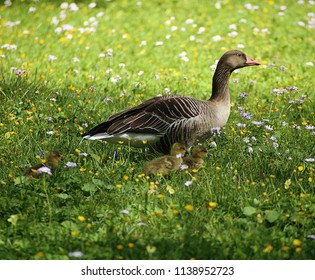 Bavarian countryside in spring, greylag goose walks in a flowering meadow with ducklings, soft focus,