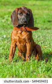 Bavarian mountain dog
