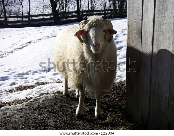 bavarian sheep in the snow