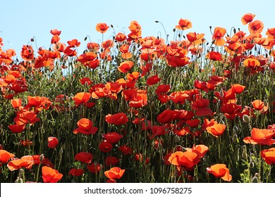 Bavarian spring, bright red poppies against blue sky