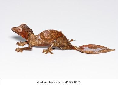 Baweng satanic leaf gecko, or Eyelash leaf tailed gecko (Uroplatus phantasticus), close-up isolated on white background