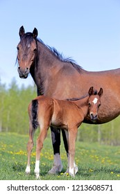 Bay Arabain Mare with Foal standing together in a summer meadow