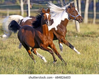 Bay Arabian Colt and Pinto Gelding galloping together in meadow at summer pasture, late afternoon sunlight.