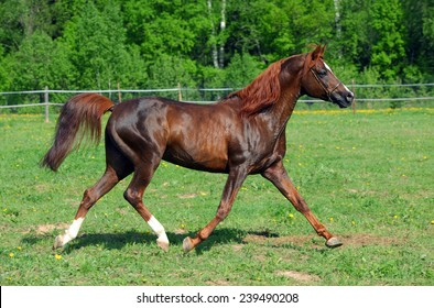 Bay arabian horse runs trot