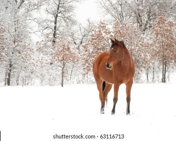 Bay Arabian horse in snow on a cold winter day
