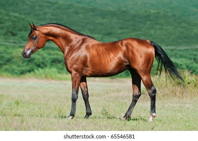 bay arabian horse stallion
