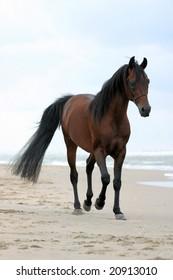 A bay arabian stallion trotting on the beach.