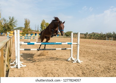 Bay or brown Racehorse jumping over the fences. Horse jumping over obstacle during the training, exercise or practise.