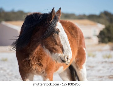 Bay Clydesdale Mare