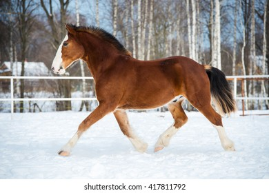Bay color draft horse runs trot in winter time