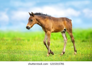 Bay colt walk on spring green meadow against blue sky with clouds