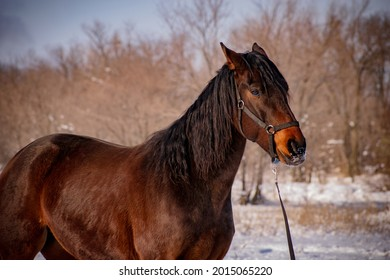 Bay gelding at sunset in winter in a black halter in the field.