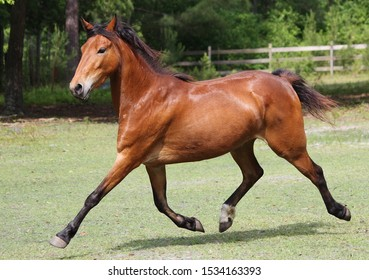 bay hackney pony extended trot