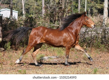bay hackney pony running free