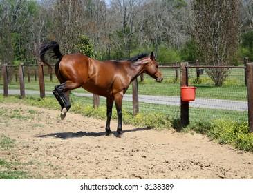 Bay Horse Bucking