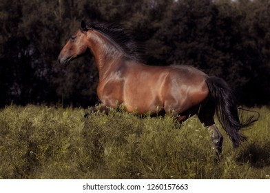 Bay horse cantering in the field