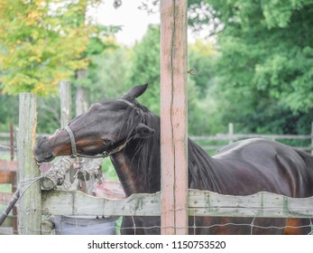 Bay horse chewing on a fence post in its paddock