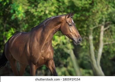 Bay horse  close up portrait