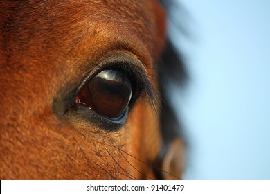 Bay horse eye close up