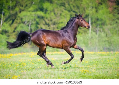 Bay horse with flower runs gallop in summer time