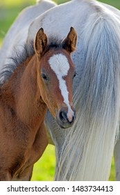 Bay Horse Foal few weeks old standing close to mother.