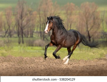 Bay horse galloping on green grass on red trees background