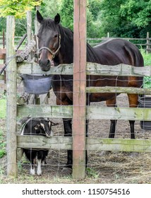 Bay horse and its goat stable companion in a paddock