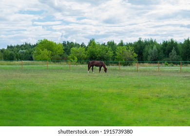 Bay horse is grazing in the paddock and eating grass in ranch or farmland in woods or field. Summertime