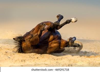 Bay horse lay on sand