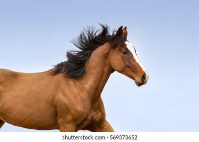 Bay horse with long mane portrait. Horse close up against blue sky