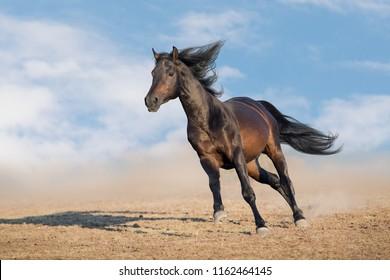 Bay horse with long mane run fast in desert dust