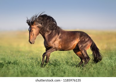 Bay horse with long mane run gallop on green field