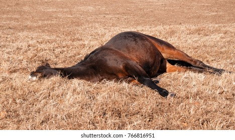 Bay horse lying down sound asleep in sunshine