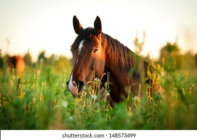 Bay horse lying on the grass in the morning