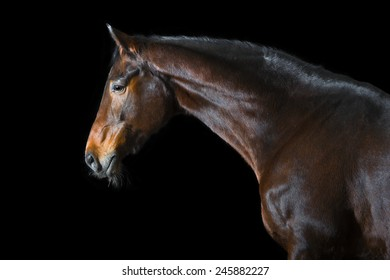 Bay horse on the black background