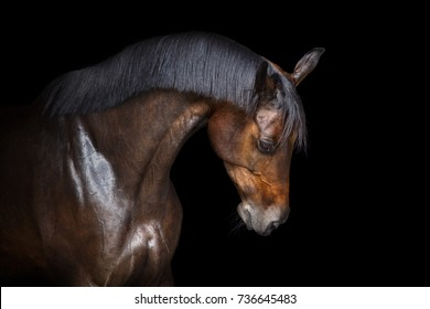 Bay horse portrait with beautiful mane on black background