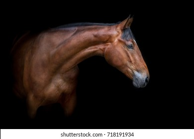 Bay horse portrait isolated on black background
