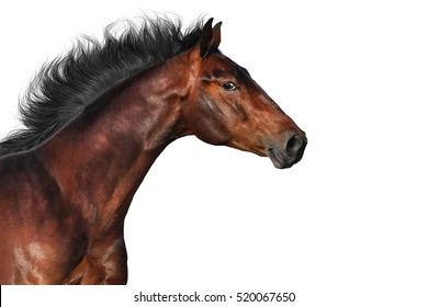 Bay horse portrait in motion isolated on white background
