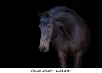 Bay horse portrait on black background