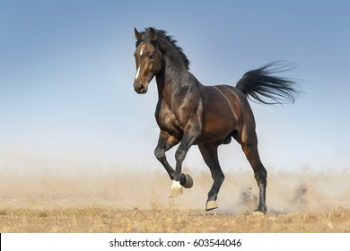 Bay horse run gallop in dust against blue sky