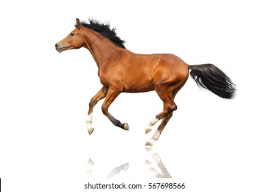 Bay horse run gallop isolated on white background