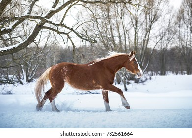 Bay horse running gallop in winter forest