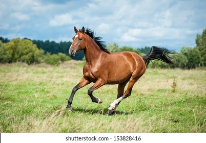 Bay horse running on the meadow