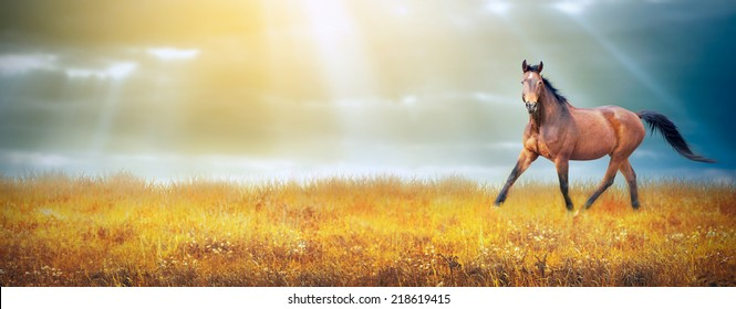 Bay horse running trot on autumn field on sky background with sun rays, banner