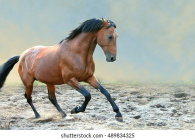 Bay horse runs gallop
