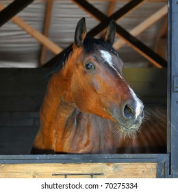 bay horse stallion in stable