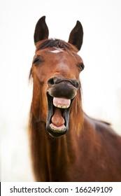 Bay horse yawning