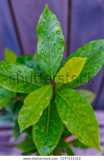 Bay Leaf Bush Flower Pot Street Stock Photo Edit Now 1197231322