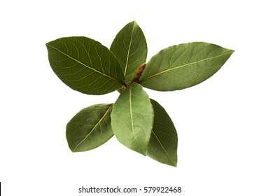 bay leaf plant isolated closeup